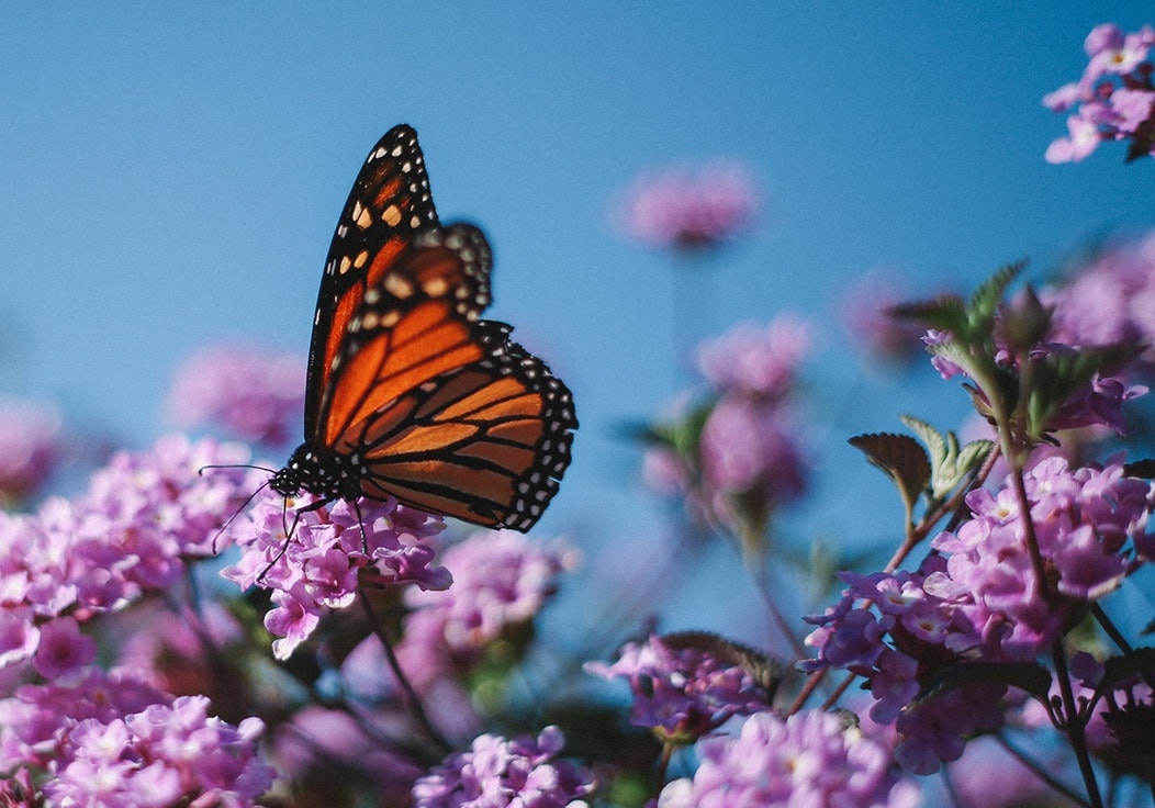 Why not plant a butterfly garden this Easter?